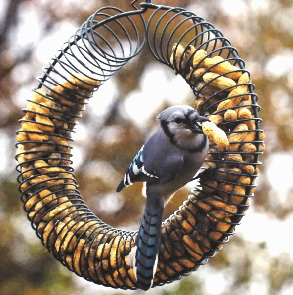 blue jay at peanut wreath feeder